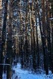Vinterskog i en solig dag Royaltyfri Fotografi