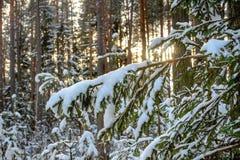 Vinterskog i soligt väder Arkivfoton