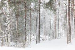 Vinterskog med högväxta träd Arkivfoto