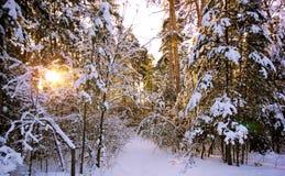 Vinterskog mot solnedgången Arkivfoto