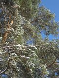 Vinterskog som täckas med blå himmel royaltyfri foto