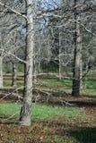 Vinterskog - stående Arkivfoto