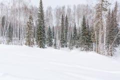 Vinterskog, taiga Skog i vinter i Sibirien Taiga sörjer i vintern snowtrees under Royaltyfri Bild