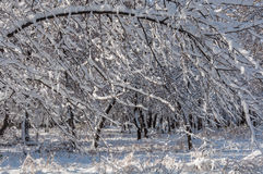 Vintersnö parkerar träd Royaltyfria Bilder