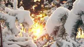 Vintersolavbrott till och med dentäckte granen förgrena sig Arkivbilder