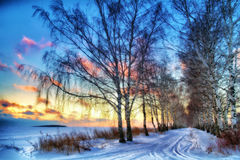 Vintersolnedgång i björkavenyn Ryssland Royaltyfri Foto