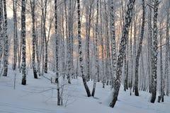 Vintersolnedgång i björkskog Arkivfoto