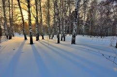 Vintersoluppgång i björkdungen Arkivfoton
