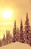 Vinterspruce Arkivfoton