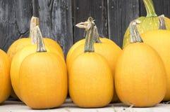Vintersquash som kryper växten, runda, oblate, oval styriaca för formcucurbitapepo Fotografering för Bildbyråer