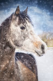 Vinterstående av den gråa arabiska hästen på snönedgång Arkivbild