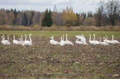 Vintertid kommer i natur av den Lettland closeupen av whoopersvanar för flyttning royaltyfria foton