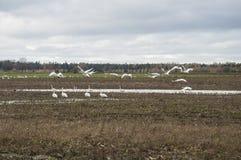 Vintertid kommer i natur av den Lettland lotten av whoopersvanar för flyttning arkivbild