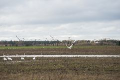 Vintertid kommer i natur av svanar för den Lettland flygwhooperen för flyttning arkivfoton