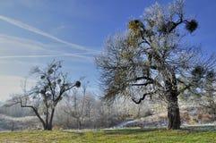 Vinterträd med mistel Arkivbilder