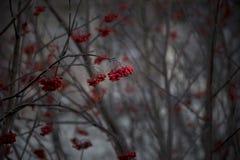 Vinterträd med röda non ätliga grupper av röda bär royaltyfria foton