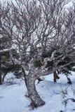 Vinterträd på maxima av Mt Hanlla i den Jeju ön, Sydkorea fotografering för bildbyråer