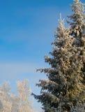 Vinterträd under insnöad solig dag Arkivfoto