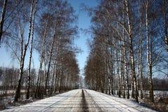 Vinterväg bland björkar Arkivbild