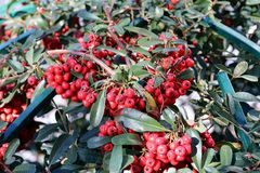 Vinterväxt med röda frukter Arkivbilder
