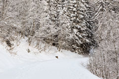 Vintervandringsled arkivfoton