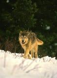 vinterwolf royaltyfri foto