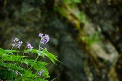Vintgar-Schlucht-Blume Stockfoto