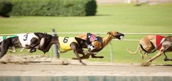 Vinthundar sprintar ner spåret i ett åtsittande lopp Royaltyfri Fotografi