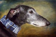 Vinthundhund Royaltyfri Bild