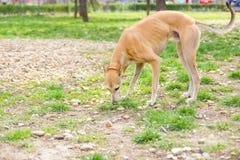 Vinthundhunden parkerar in att sniffa royaltyfria foton