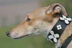 vinthundprofil royaltyfria bilder