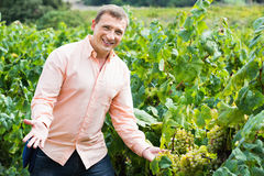 Vintner checking wine grape and leaves in summer day. Cheerful diligent smiling vintner checking wine grape and leaves in summer day Royalty Free Stock Photography