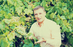 Vintner with clusters of grape outdoors. Cheerful male vintner looking on clusters of grape outdoors Royalty Free Stock Images
