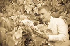 Vintner with clusters of grape outdoors. Cheerful smiling male vintner looking on clusters of grape outdoors Royalty Free Stock Images