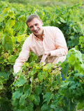Vintner with clusters of grape outdoors. Joyful male vintner with clusters of grape smiling outdoors Stock Images