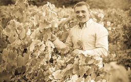 Vintner with clusters of grape outdoors. Satisfied male vintner with clusters of grape smiling outdoors Royalty Free Stock Image