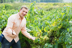 Vintner with clusters of grape outdoors. Satisfied male vintner with clusters of grape smiling outdoors Stock Photos