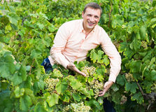 Vintner with clusters of grape outdoors. Satisfied male vintner with clusters of grape smiling outdoors Stock Photo