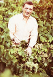Vintner with clusters of grape outdoors. Satisfied male vintner with clusters of grape smiling outdoors Royalty Free Stock Photo