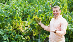 Vintner with clusters of grape outdoors. Satisfied male vintner with clusters of grape smiling outdoors Stock Image