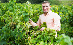 Vintner with clusters of grape Stock Photo