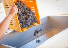 Vintner Dumps Crate of Freshly Picked Grapes Into Processing Mac. Vintner Dumps A Crate of Freshly Picked Red Grapes Into Processing Machine Royalty Free Stock Photography
