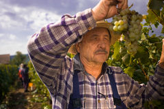 Vintner examining grapes. Vintner in french straw examining the grapes during the vintage Royalty Free Stock Photography
