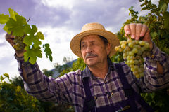 Vintner examining grapes Stock Photo
