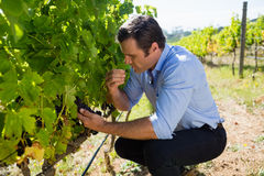 Vintner examining grapes in vineyard. On a sunny day Royalty Free Stock Images
