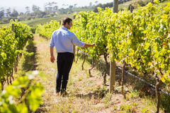 Vintner examining grapes in vineyard. On a sunny day Royalty Free Stock Photos