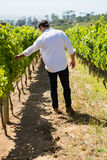 Vintner examining grapes in vineyard. On a sunny day Royalty Free Stock Image