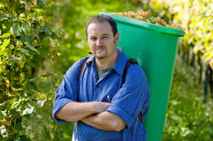 Vintner During The Harvest Royalty Free Stock Photo