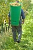 Vintner During The Harvest. Vintner wearing butt full of grapes during the harvest Stock Images