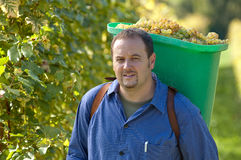 Vintner During The Harvest Royalty Free Stock Image